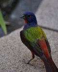 First sighting of a Painted Bunting through a dusty kitchen window