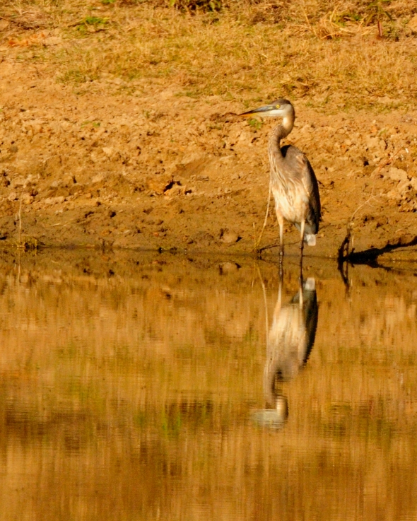 Great Blue Heron at Muddy Pond