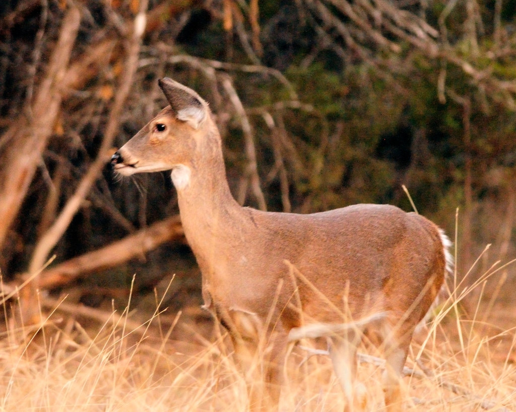 Yearling Whitetail 2